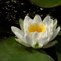 Wasserlilie, Weiße Seerose Samen (Nymphaea alba) 1.95 - 6