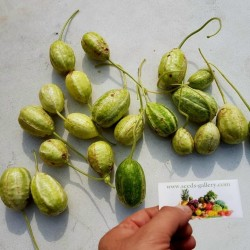 Maroon Cucumber, West Indian Gherkin Cucumber Seeds 1.85 - 2