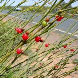 Graines de Exocarpus sparteus 2 - 1