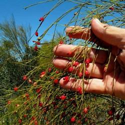 Placuca Tresnja Seme - Weeping Cherry 2 - 2