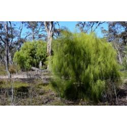 Graines de Exocarpus sparteus 2 - 5