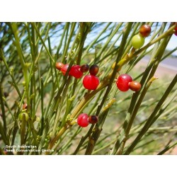 Weeping Cherry Seeds 2 - 6