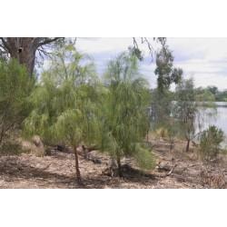 Graines de Exocarpus sparteus 2 - 10