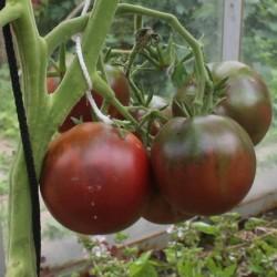 Semi di pomodoro zingaro 1.65 - 1