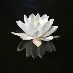 Wasserlilie, Weiße Seerose Samen (Nymphaea alba) 1.95 - 5