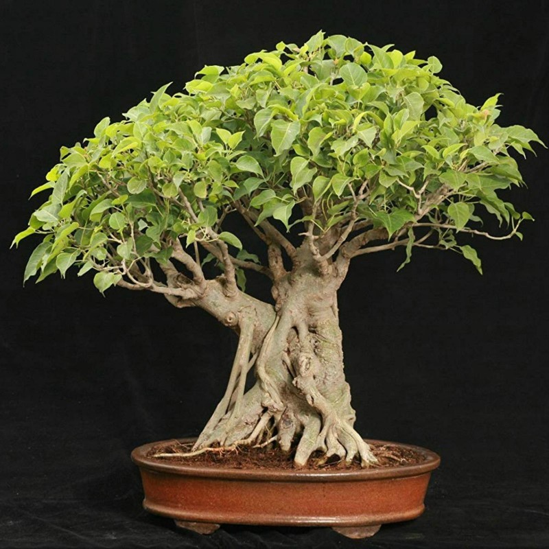 Sacred Fig Seeds (Ficus religiosa) 2.45 - 1