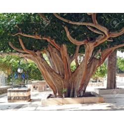 Sacred Fig Seeds (Ficus religiosa) 2.45 - 3