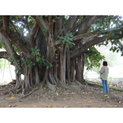 Graines de Figuier des pagodes (Ficus religiosa) 2.45 - 4