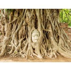 Sacred Fig Seeds (Ficus religiosa) 2.45 - 5