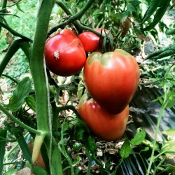 Seme paradajza VAL Sorta iz Slovenije 2 - 2