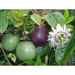 Passiflora Edulis Passionsblomssläktet Frön 3 - 4