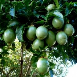 Passiflora Edulis Passionsblomssläktet Frön 3 - 2