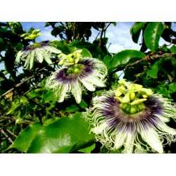 Graines Passiflora Edulis Passion Flower 3 - 3