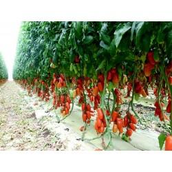 Napoli Tomato Seeds 1.85 - 3
