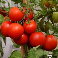 Semillas de Tomate Cereza Red Cherry 1.95 - 2
