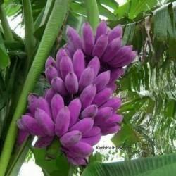 Semillas de Plátano Azul Birmano (Musa itinerans) 3.05 - 1