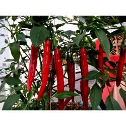 Chili Seme Cayenne Long Slim