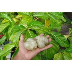 Graines de Noni, Nono, Mûrier indien (Morinda citrifolia) 1.95 - 5