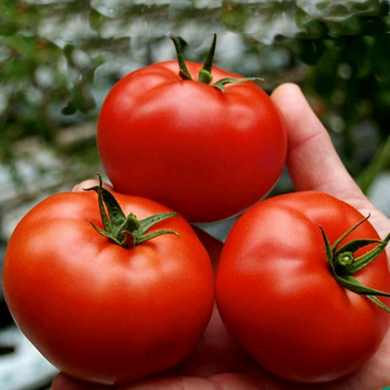 Graines Tomate Saint Pierre 1.5 - 1