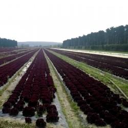 Graines Laitue Salade Lollo Rossa Concorde 1.1 - 2