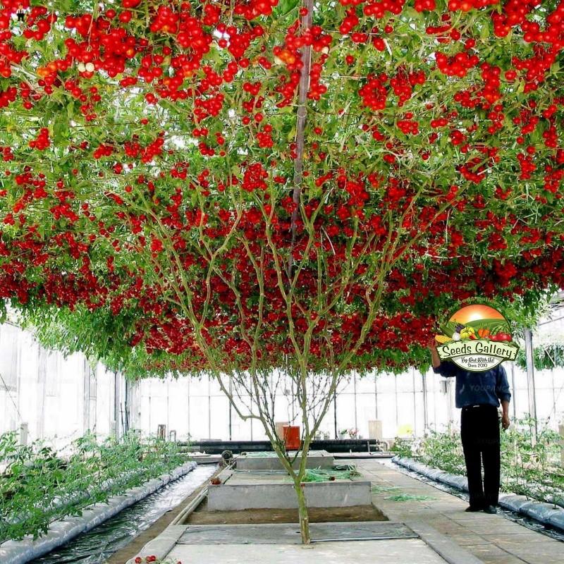 Sällsynta Jätte italiensk tomatträd frön 5 - 1