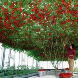 Sällsynta Jätte italiensk tomatträd frön 5 - 2