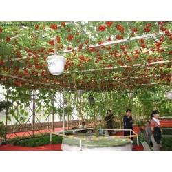Sementes Gigantes Italiano Árvore de Tomate 5 - 3