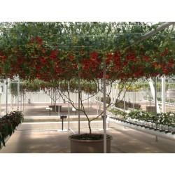 Rari Semi di albero di pomodoro italiano gigante 5 - 4