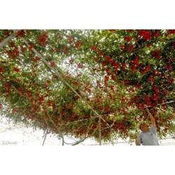 Sällsynta Jätte italiensk tomatträd frön 5 - 5