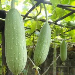 Semillas Calabaza Luffa Esponja (Luffa aegyptiaca) 2.15 - 2