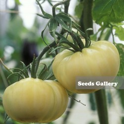 Graines Tomate Merveille Blanche 1.65 - 2