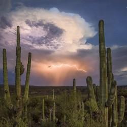 Graines de Cactus Saguaro (Carnegiea gigantea) 1.8 - 2