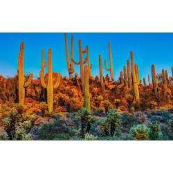 Saguaro Kaktus Seme (Carnegiea gigantea) 1.8 - 5