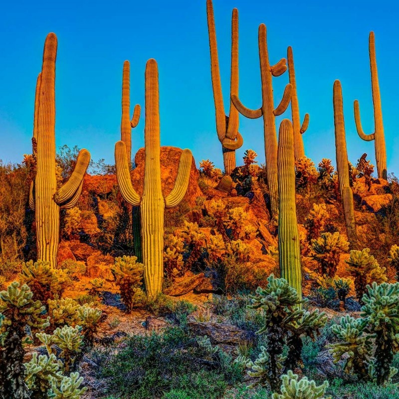 Semillas de Cactus Saguaro o Sahuario (Carnegiea gigantea) 1.8 - 1