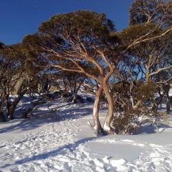 Snow Gum Eucalyptus Seeds - Hardy −23 °C 2.05 - 1