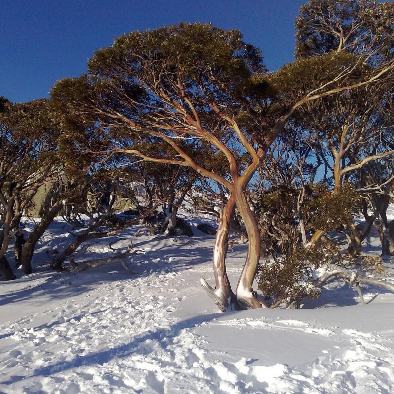 Eukalyptus winterhart