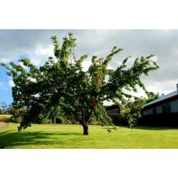 Graines Abricotier MANCHURIAN APRICOT Prunus Armeniaca