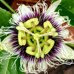 Graines de Passiflora Grenadille jaune (Passiflora flavicarpa) 1.95 - 2