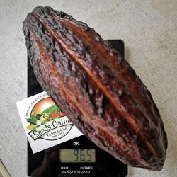 Semillas El árbol de cacao (Theobroma cacao) 4 - 2