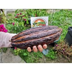 Kakaovac - Kakao Seme (Theobroma cacao) 4 - 6