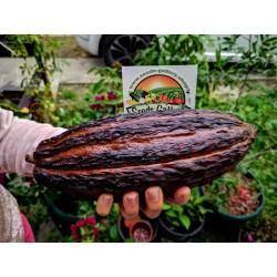 Graines de Cacaoyer - Cacao (Theobroma cacao) 4 - 4