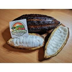 Kakaovac - Kakao Seme (Theobroma cacao) 4 - 3