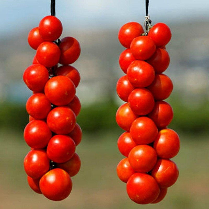 Spanish Hanging Tomato Seeds 1.75 - 1