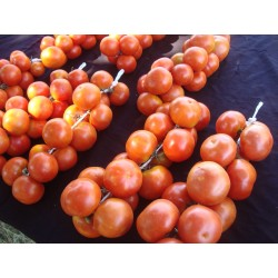Spanish Hanging Tomato Seeds 1.75 - 3