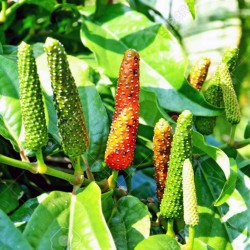 Long pepper Seeds - Indian long pepper 2.55 - 4