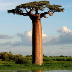 Graines de Baobab africain (Adonsonia digitata) 1.85 - 2