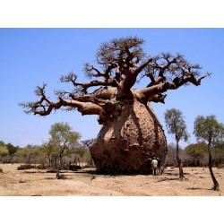 Baobab Seme (Adonsonia digitata) 1.85 - 4