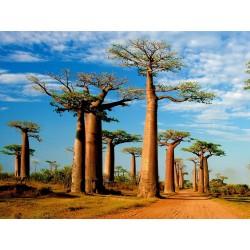 Baobab Seme (Adonsonia digitata) 1.85 - 3