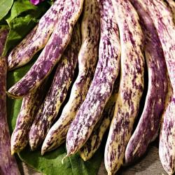Semillas Haba Merveille de Piemonte 2.5 - 1