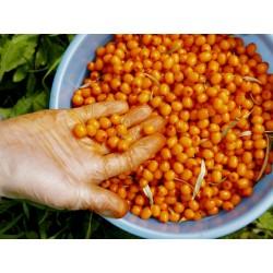 Σπόροι Ιπποφαές (hippophae rhamnoides) 1.85 - 3